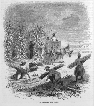 Sugar cane harvest 2